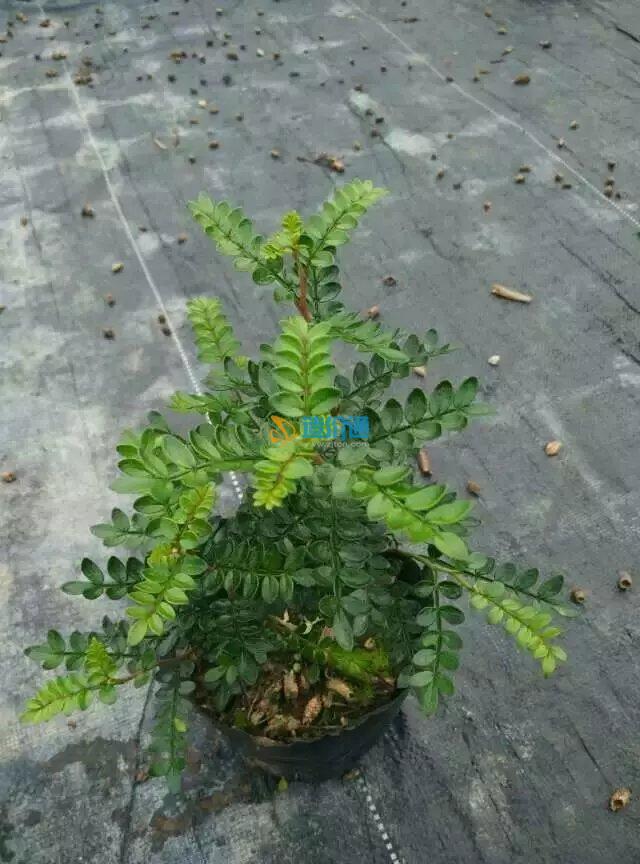 广东灌木木榄2018年01月市场价_广东棉麻木榄灌木一见代发图片