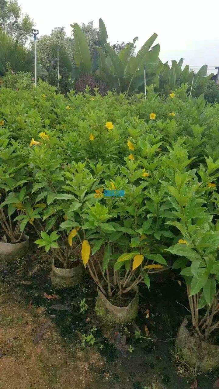 硬枝黄婵图片