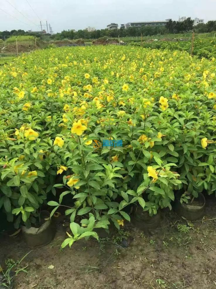 软枝黄婵图片