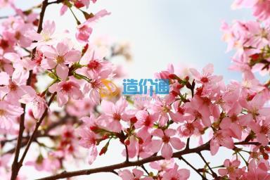广州樱1号图片